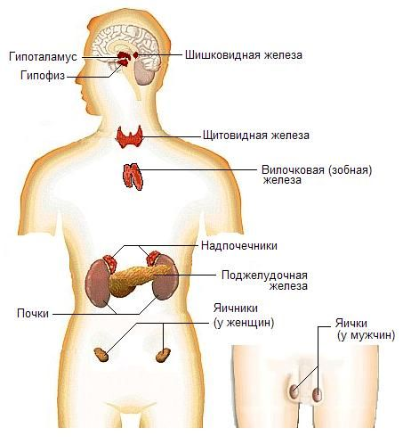 Эндокринная система человека - нарушения гормонального баланса, приводящие к потливости