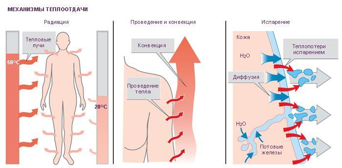 Принцип работы терморегуляции тела человека за счет потоотделения
