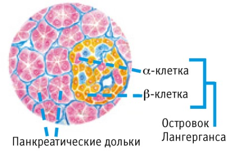 альфа и бета клетки