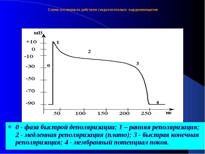 Мембранные потенциалы кардиомиоцитов