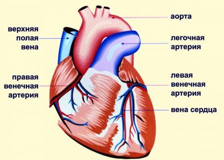 Сердце и сосуды, назначение и устройство.
