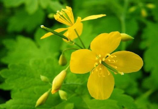 цветки чистотела