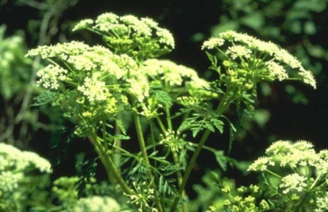Многие травы обладают негативным влиянием на печень и почки, что может не только не увеличить то, сколько живут пациенты, но и привести к нежелательным последствиям терапии