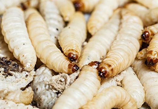 личинки мух